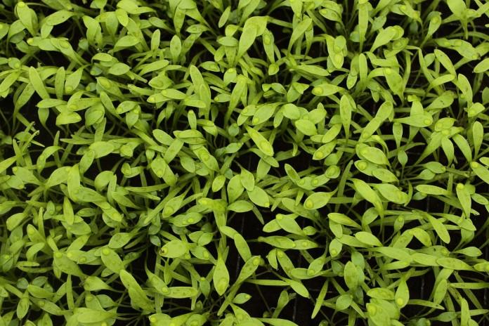 Šrucha zelená pěstování