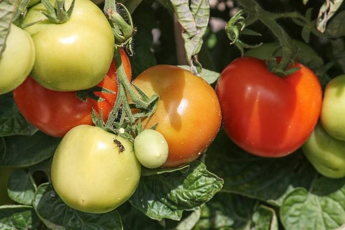 Choroby a škůdci rajčat