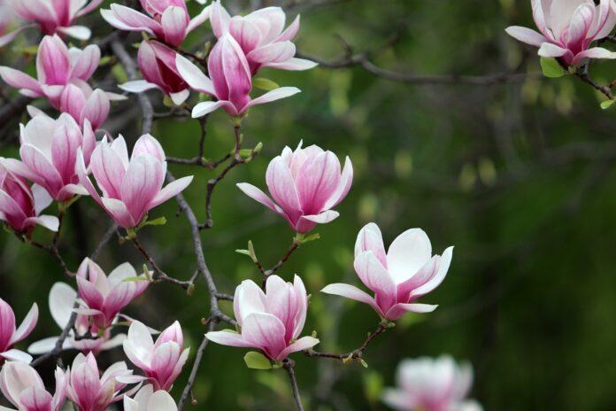 Magnolie druhy